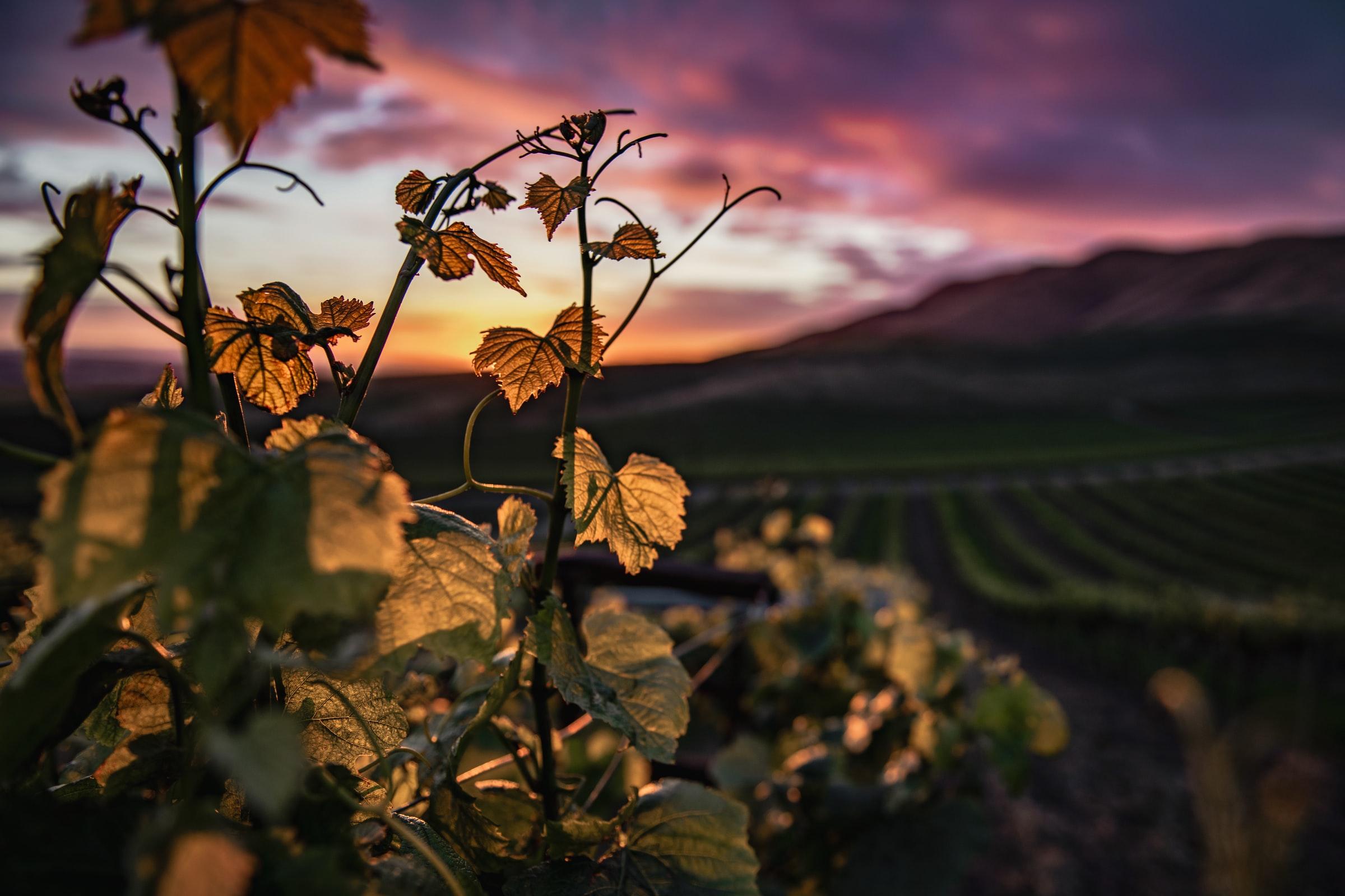 Vitis vinifera blog sul vino