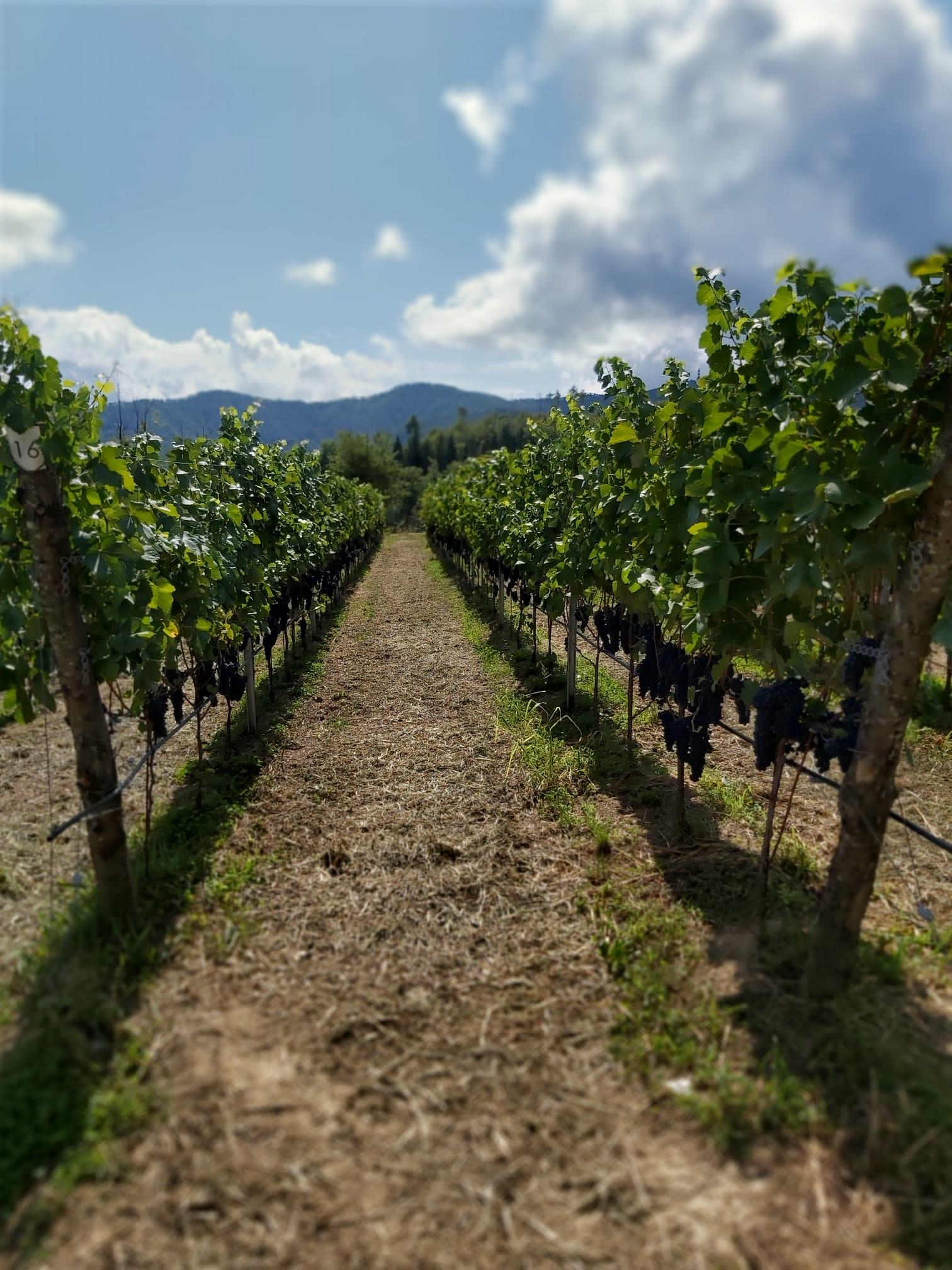 Vino ligure viticoltore