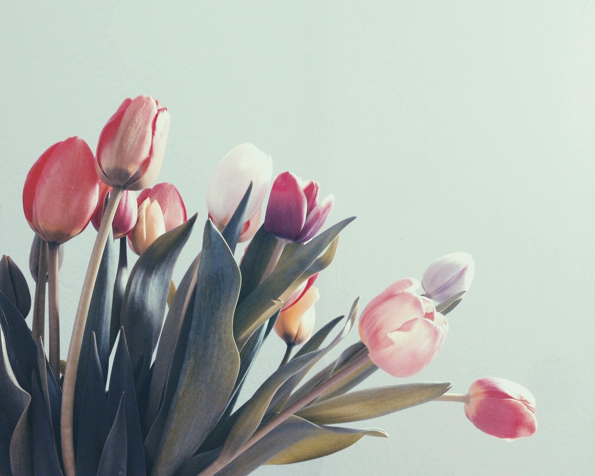 fiori, tulipani bianchi e rosa