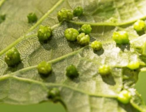 I problemi della vite, malattie fungine ed insetti