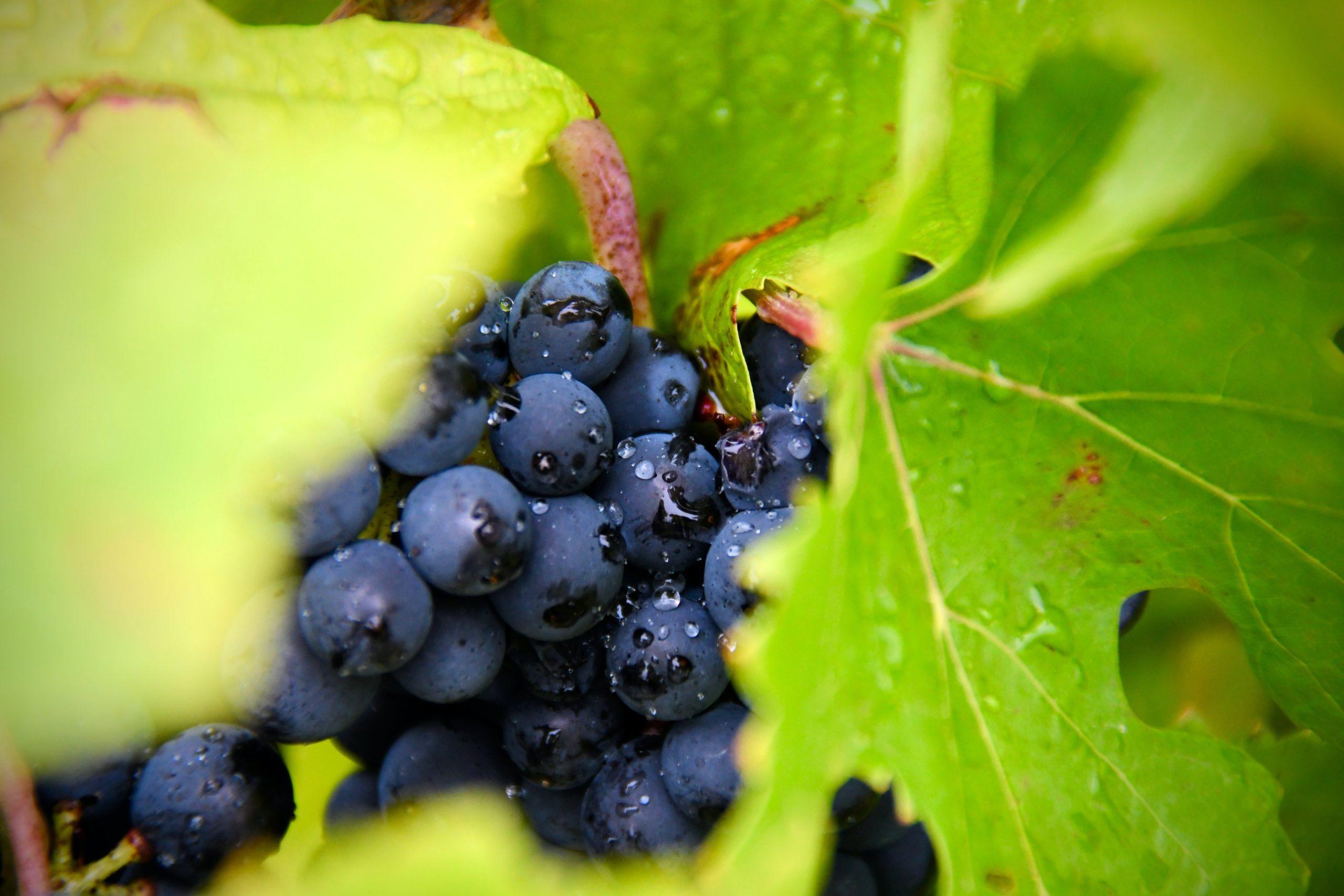 Piccolo grappolo di uva ora tra le foglie