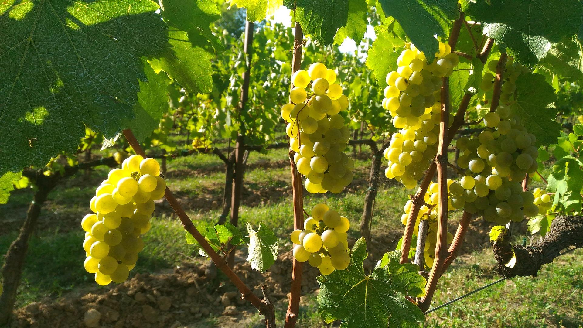 grappoli di uva Franciacorta bollicine