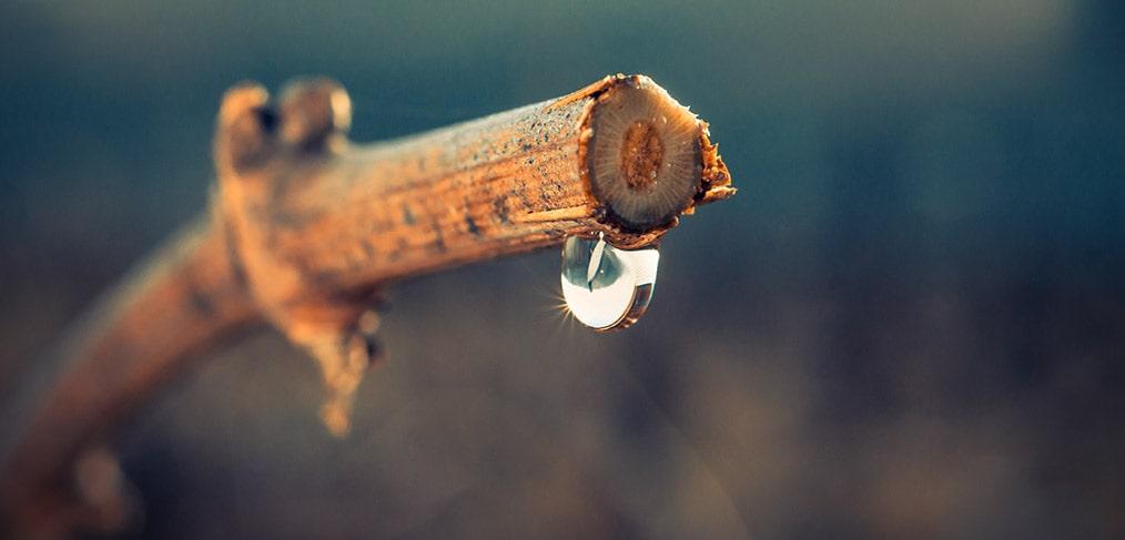 pianto della vite viniferina