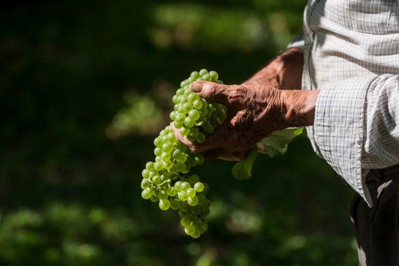 Grappoli uva di Ca' di Rajo vintigni veneti